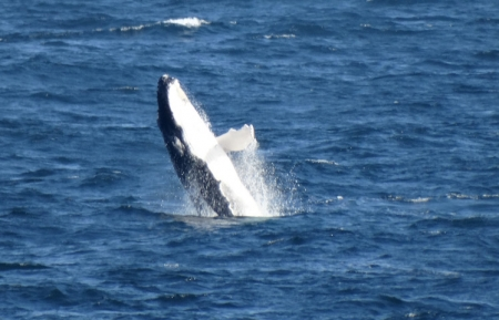 A humpback whale sighted from Terrigal early last week.Photo courtesy Central Coast Dolphin Project.